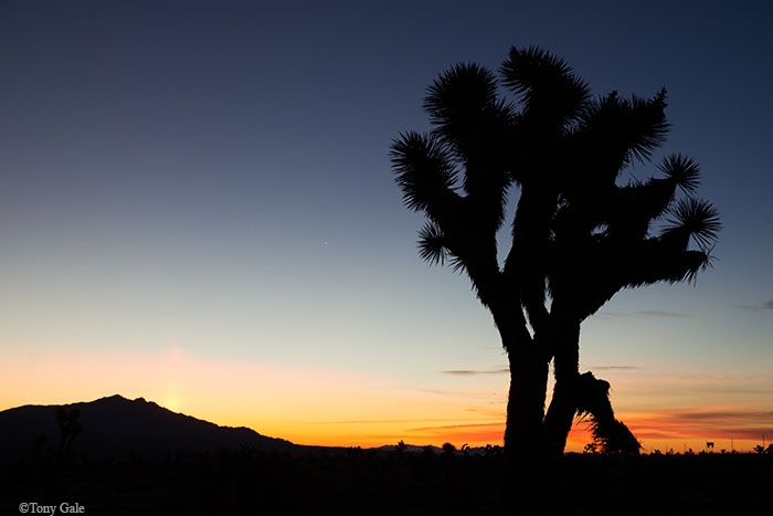 Joshua Tree in Nevada ©Tony Gale