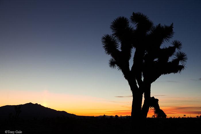 Joshua Tree in Nevada ©Tony Gale
